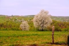 Ciresi in floare 18