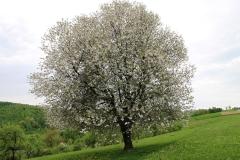 Ciresi in floare 22