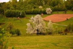 Ciresi in floare 5